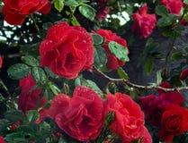 Bush delle rose rosse luminose contro le foglie scure Fotografie Stock