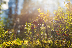 Bush delle uve di monte selvagge. Fotografia Stock