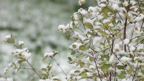 Bush dello Snowberry nell'ambito delle precipitazioni nevose archivi video