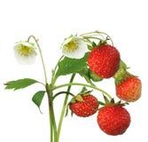 Bush der Erdbeere Lizenzfreies Stockbild