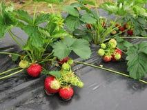 Bush der Erdbeere mit den roten und grünen Beeren Stockfotografie