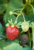 Bush der Erdbeere mit großer roter reifer Beere Lizenzfreies Stockfoto