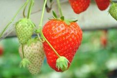 Bush der Erdbeeren Lizenzfreies Stockfoto