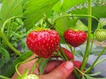 Bush der reifen roten Erdbeere gruppiert sich mit grünen Blättern Stockfotos