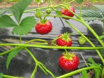 Bush der reifen roten Erdbeere gruppiert sich mit grünen Blättern Lizenzfreie Stockfotografie