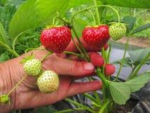 Bush der reifen roten Erdbeere gruppiert sich mit grünen Blättern und Beeren Stockfoto