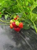 Bush der reifen roten Erdbeere gruppiert sich mit grünen Blättern und Beeren Stockbild
