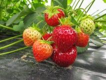 Bush der reifen roten Erdbeere gruppiert sich mit grünen Blättern und Beeren Stockbilder