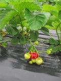 Bush der reifen roten Erdbeere gruppiert sich mit grünen Blättern und Beeren Lizenzfreie Stockbilder