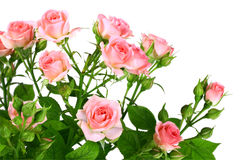 Bush der rosafarbenen Rosen mit grünen leafes Lizenzfreies Stockbild