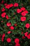 Bush der roten Blumen Lizenzfreie Stockfotos