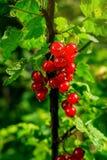 Bush der roten Johannisbeere wachsend in einem Garten Hintergrund des roten curran Lizenzfreies Stockfoto