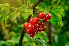 Bush der roten Johannisbeere wachsend in einem Garten Hintergrund des roten curran Stockfoto