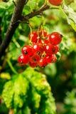 Bush der roten Johannisbeere wachsend in einem Garten Hintergrund des roten curran Lizenzfreies Stockbild