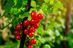 Bush der roten Johannisbeere wachsend in einem Garten Hintergrund des roten curran Stockbild