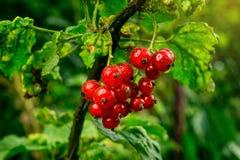 Bush der roten Johannisbeere wachsend in einem Garten Hintergrund des roten curran Stockfotografie
