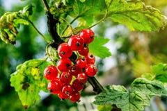 Bush der roten Johannisbeere wachsend in einem Garten Hintergrund des roten curran Lizenzfreie Stockbilder