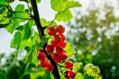Bush der roten Johannisbeere wachsend in einem Garten Hintergrund des roten curran Stockfotos