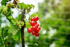 Bush der roten Johannisbeere wachsend in einem Garten Hintergrund des roten curran Lizenzfreie Stockfotografie