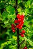 Bush der roten Johannisbeere wachsend in einem Garten Hintergrund des roten curran Stockbilder