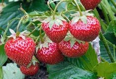 Bush der saftigen Erdbeere Lizenzfreies Stockbild