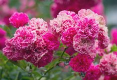 Bush der schönen rosafarbenen Rosen Stockfotografie