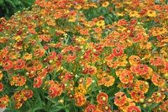 Bush des fleurs de Helenium Photographie stock libre de droits