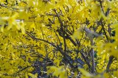 Bush des fleurs jaunes de forsythia photographie stock libre de droits