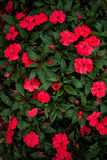 Bush des fleurs rouges Photos libres de droits