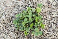 Bush des fraises au printemps Image stock