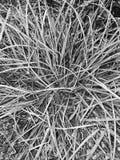 Bush des Grases in Schwarzweiss Stockfoto