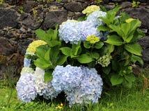 Bush des hortensias bleu-clair sur un fond d'un mur en pierre Image stock