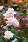 Bush des roses blanc-roses de floraison Photo stock