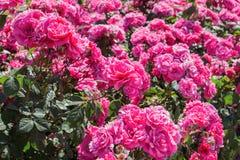 Bush des roses le jour lumineux d'été Photo stock