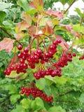 Bush des saftigen Viburnum mit roten Beeren lizenzfreie stockfotos