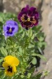 Bush des violettes Photo libre de droits