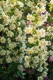 Bush des weißen Jasmins und rosa Rosen Eine Gartenanordnung für die weißen und rosa Blumen stockbild