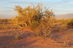 Bush in desert in sunset light. Red sand desert with dry deadand green bush in sunset light, clear blue sky with some clouds. Beautiful scenery, landscape of red Royalty Free Stock Images