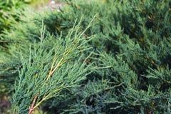 bush dewdrops раньше вися можжевельник как сеть паука перл сети утра Стоковое фото RF