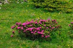 Bush di alpenrose (ferrugineum del rododendro) Immagine Stock