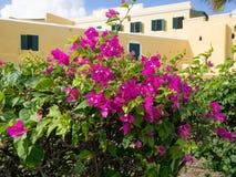 Bush di fioritura davanti al Ft Christiansted immagine stock