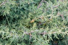 Bush di un ginepro Fotografia Stock Libera da Diritti