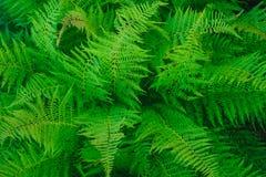 Bush di una felce lascia nella foresta dell'estate immagine stock