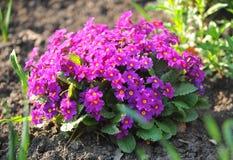 Bush die van purpere bloemen in de tuin groeien. Royalty-vrije Stock Afbeelding