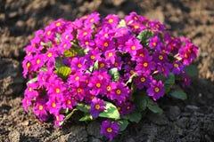 Bush die van purpere bloemen in de tuin groeien. Royalty-vrije Stock Foto