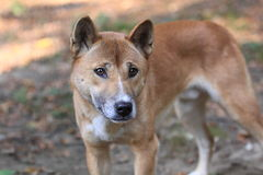 Bush dingo Stock Photos