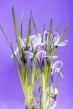 Bush do açafrão em um fundo violeta Imagem de Stock Royalty Free