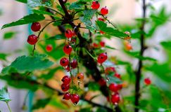 Bush do corinto vermelho em um jardim Fotos de Stock
