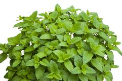 Bush do erva-cidreira verde fresco Fotografia de Stock