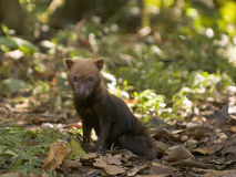 Bush Dog. Pup (Speothos venaticus). Very rare and threatened. Yarina Biological Reserve, Amazonas, Ecuador royalty free stock photography